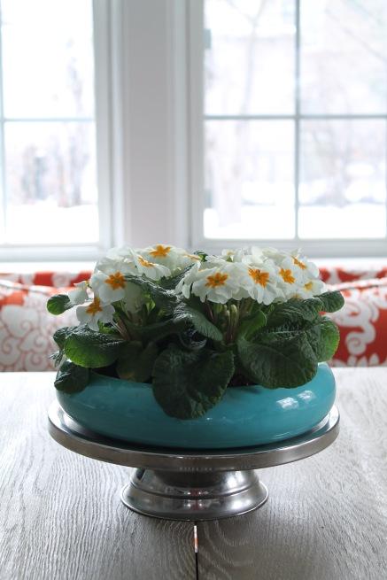 white primroses